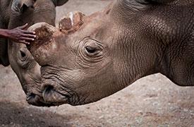 Suni, northern white rhino